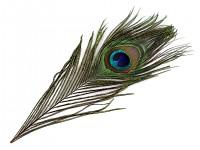 Paví peří - 25 cm - 1ks
