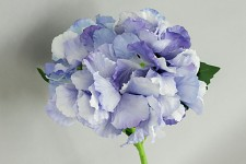 Hortenzie stvol - sv.modrá