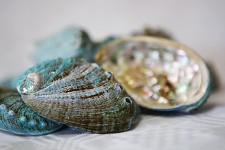 Mušle haliotis pulcherima - malé - 130g