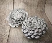 Šišková růže stříbrná -  1ks