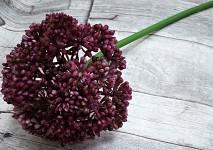 Allium maxi - růžovofialové