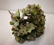Hortenzie podzimní - šalvějově zelená