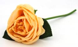 Pivoňková růže - stvol - lososová
