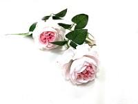 Růže anglická bílo-růžová - 2 květy s poupětem - 67 cm