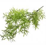 Asparagus zelený - stvol - 76 cm