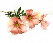 Cosmos zápich - 3 květy - starorůžový
