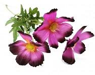 Cosmos zápich - 3 květy - fialový
