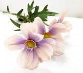 Cosmos zápich - 3 květy -  lila
